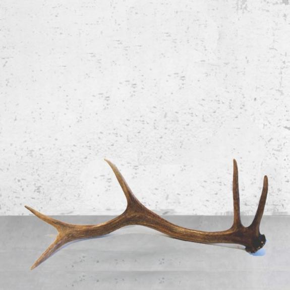 Cuerno ciervo procedente desmogue